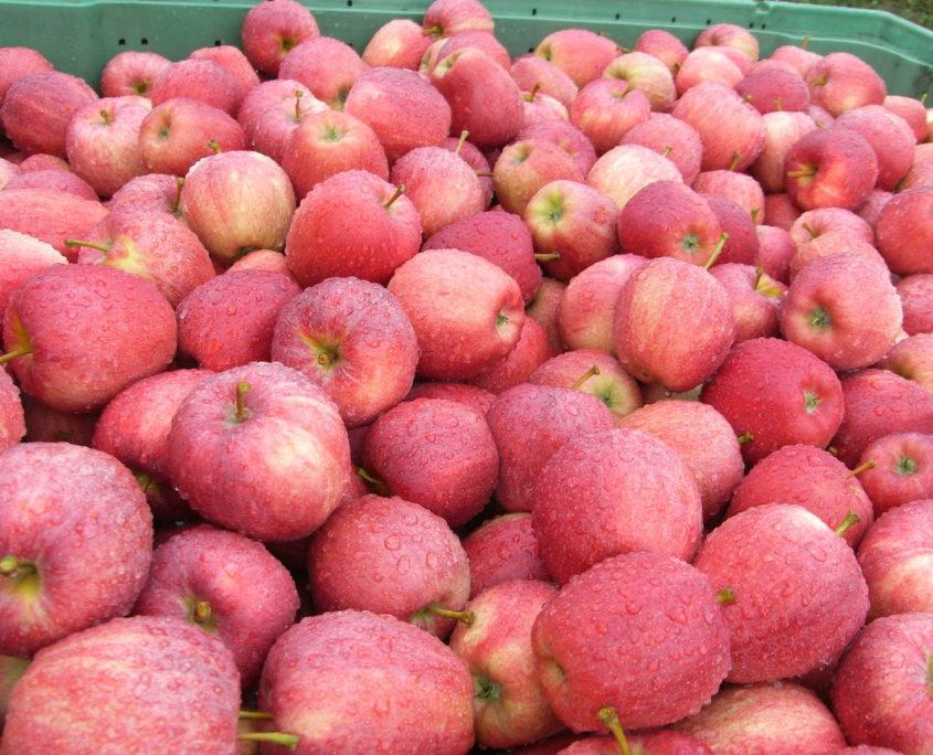 Obstbau Knaller Gala Äpfel