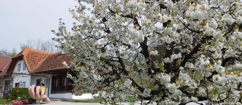 Obstbau Knaller Kirschbaum Blüte