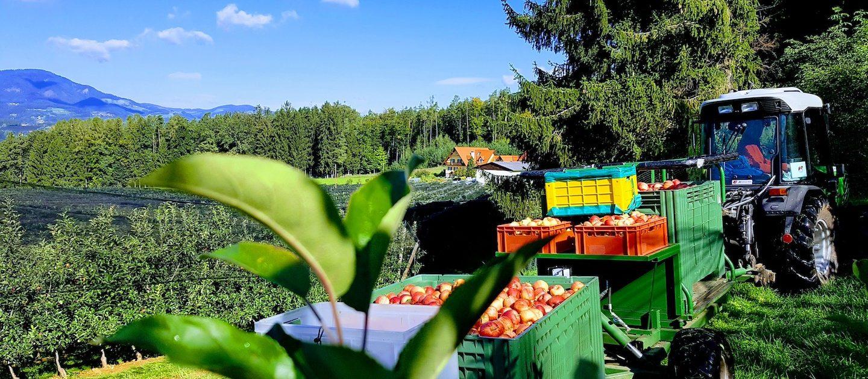 Obstbau Knaller Apfelernte