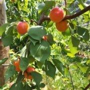 Obstbau Knaller Marillen