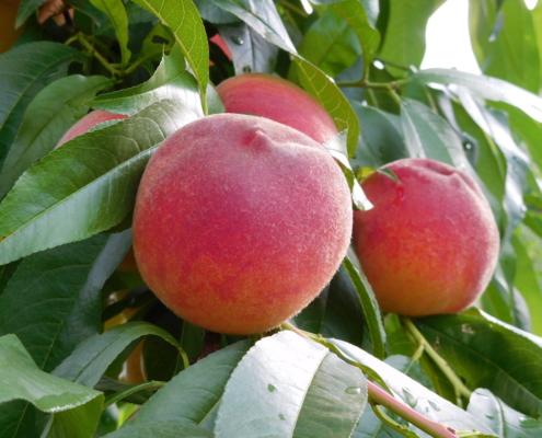 Obstbau Knaller Pfirsich