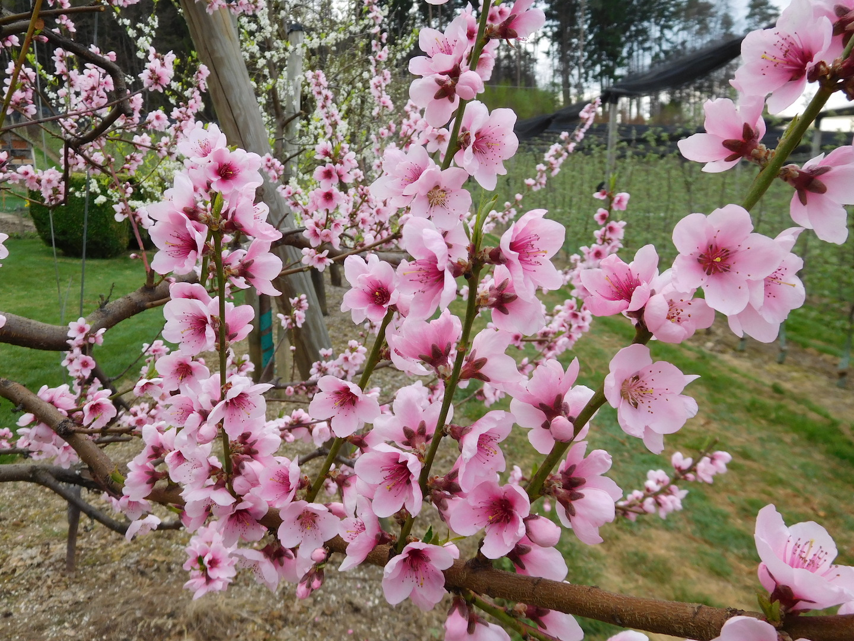 Obstbau Knaller Pfirsichblüte